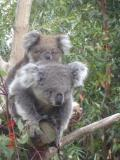 Jirrahlinga Koala & Wildlife Sanctuary - Accommodation Sunshine Coast