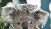 Billabong Koala and Wildlife Park - Accommodation Sunshine Coast