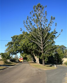 Anzac Avenue Memorial Trees Beerburrum - Accommodation Sunshine Coast