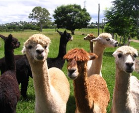 Banyandah Alpacas - Accommodation Sunshine Coast