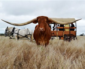 Texas Longhorn Wagon Tours and Safaris - Accommodation Sunshine Coast