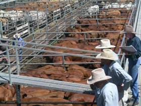 Dalrymple Sales Yards - Cattle Sales - Accommodation Sunshine Coast