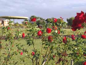 Elizabeth Park Rose Gardens - Accommodation Sunshine Coast