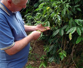 Wombah Coffee Plantation - Accommodation Sunshine Coast