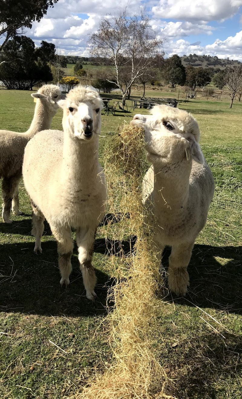 Clearview Alpacas - Accommodation Sunshine Coast