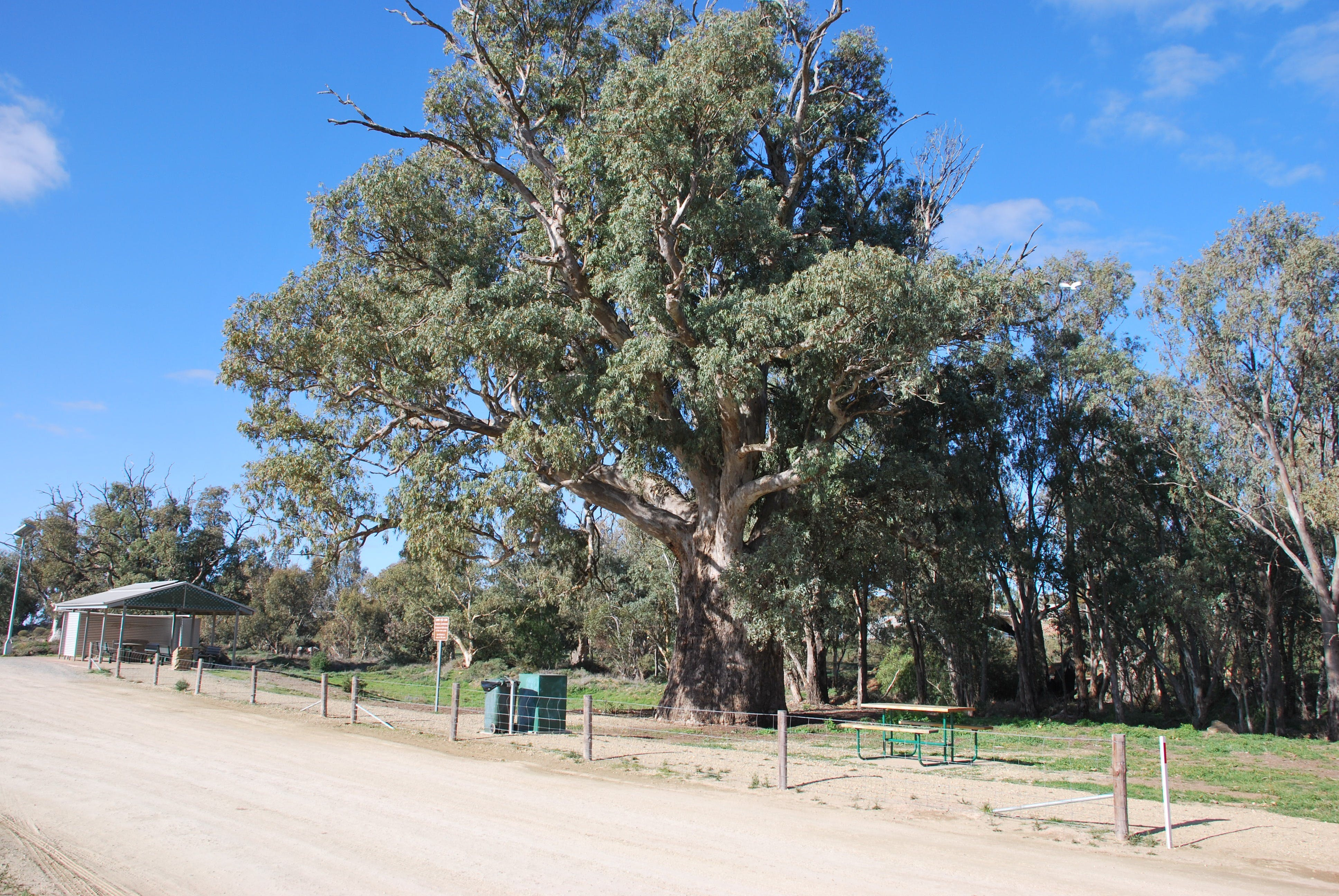 Giant Gum Tree - Accommodation Sunshine Coast