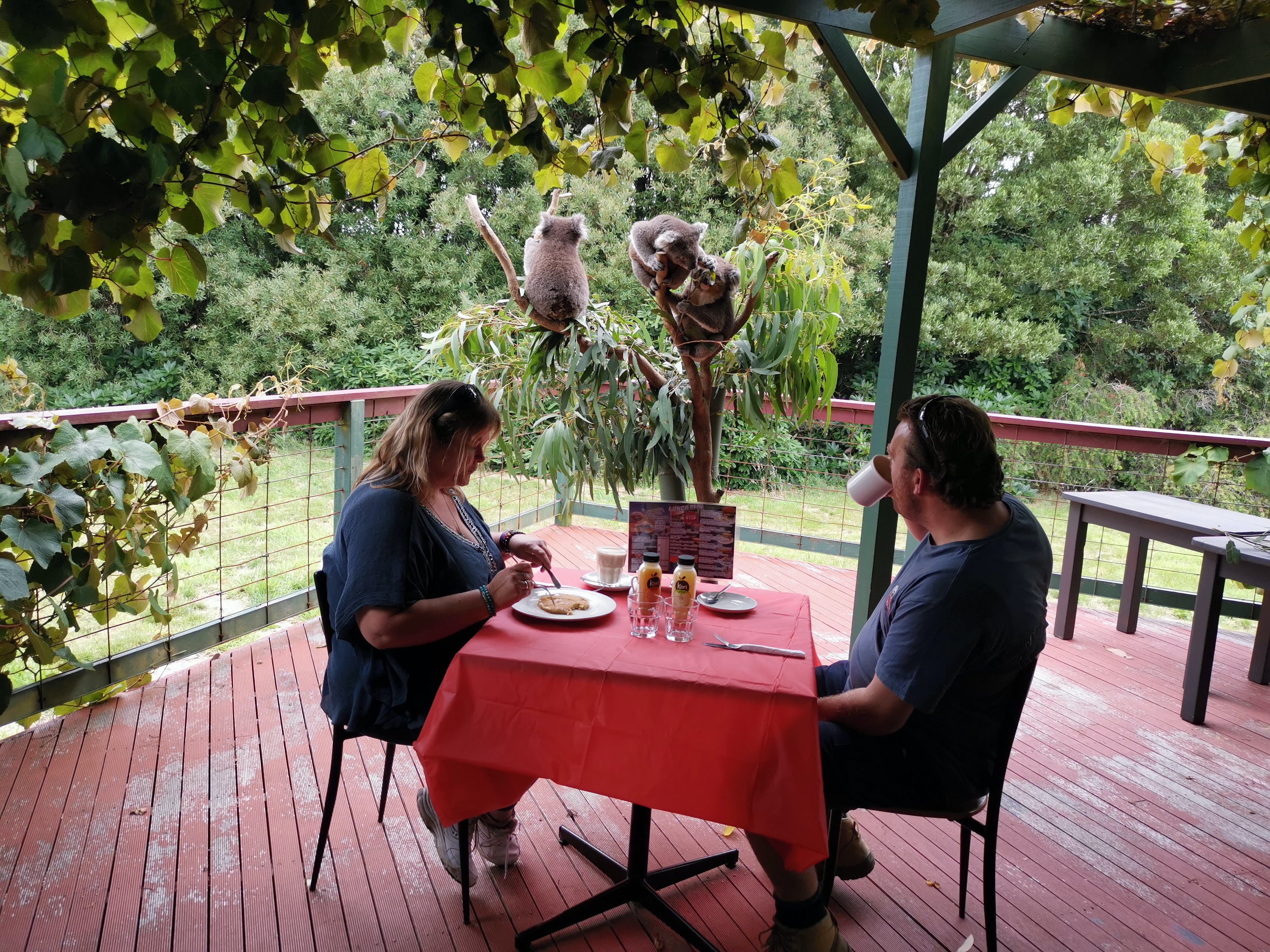 The Aussie Stop offering Breakfast with Koalas - Accommodation Sunshine Coast
