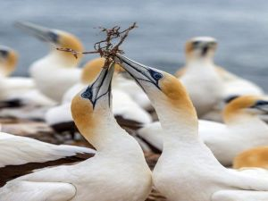 Gannets in Portland - Accommodation Sunshine Coast