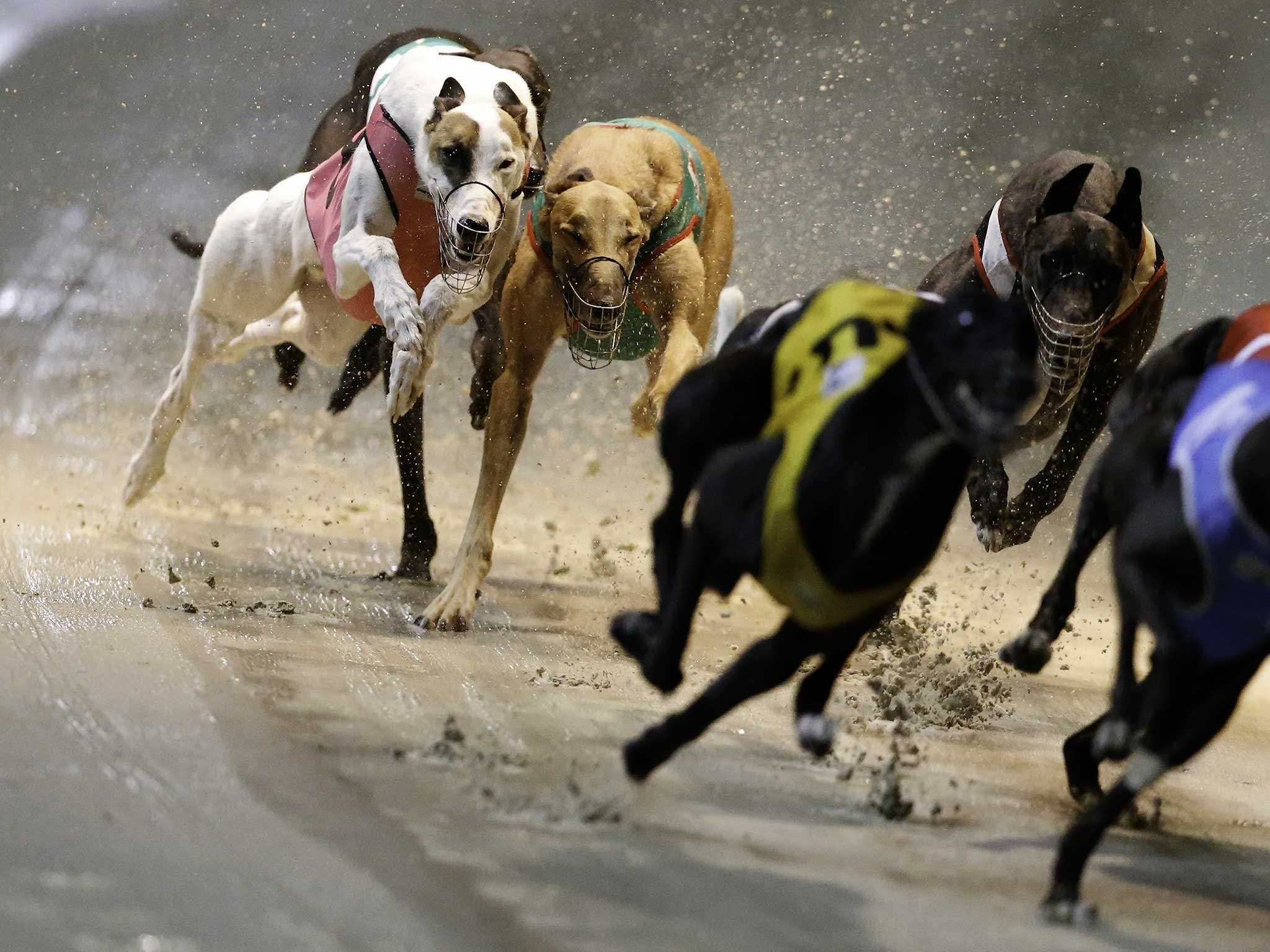 Twilight Greyhound Racing - Accommodation Sunshine Coast